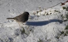 Dark eyed Junco, spotted in Chazy, NY