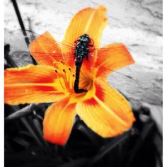 Dragon fly tiger Lilly