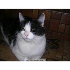 """264156 Chat perdu """"Pepite"""" Perdu chat, noir, blanc, femelle, poils courts, pelage tacheté. Perdu le 25/08/2016 45250 ESCRIGNELLES (FR)."""