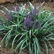 Liriope muscari Royal Purple  Option for Ground cover under tree near paving