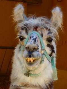 @Danielle Cripe @Casey Hendricks remember the YouTube video of the guy talking Spanish to the ticked-off Llama? lol