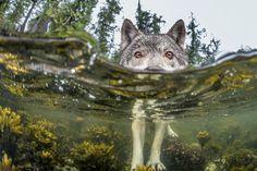 カナダ西海岸 海辺のオオカミ | ナショナルジオグラフィック日本版サイト