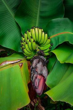 Dwarf Cavendish Banana Musa Acuminata Tropical Colors, Tropical Fruits, Tropical Flowers, Tropical Plants, Banana Flower, Banana Plants, Garden Compost, Banana Leaves, Exotic Fruit