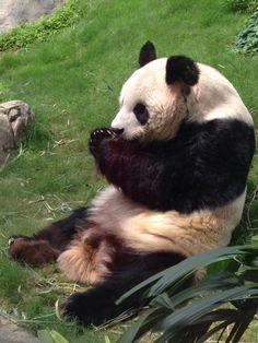 Hong Kong Pandas in Ocean Park