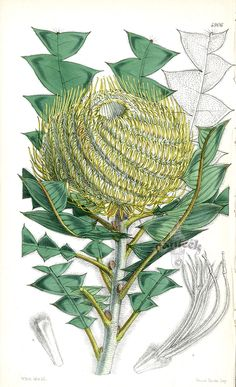 Banksia Victoriae from Rare Lithographs of Macrozamia, Bowenia, Banksia by W.H.Fitch 1853-1871
