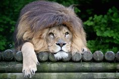 Tiny - yes, that's his name - having a 'bad hair day' in the rain at the WHF Big Cat Sanctuary…