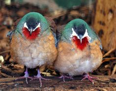 A Pair of Bleeding Heart Doves.