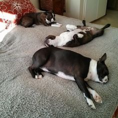 Afternoon nap. Annabel in the front, Otis Valentine on his back and Vida in the back