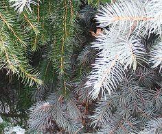Many Shades of Evergreen winter garden, shade