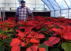 Keep those poinsettias looking perky. Follow these steps to help them last through the holidays.