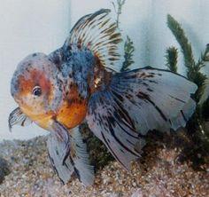 azumanishiki Goldfish Party, Goldfish Pond, Colorful Fish, Tropical Fish, Fantail Goldfish, Oscar Fish, Tetra Fish, Betta Fish Types, Lovely Creatures