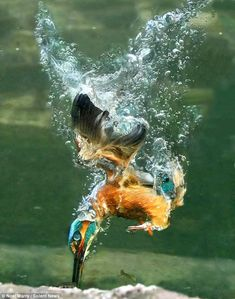 the king fisher under water - - Yahoo Image Search Results