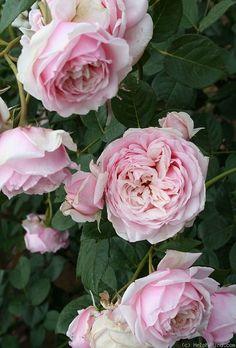 ~'L'Oiseau Chanteur' Rosa