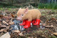 świnka - Szukaj w Google