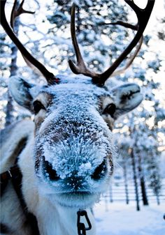Reindeer covered in snow.