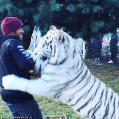 Brave: Lewis Hamilton paid a visit to The Black Jaguar-White Tiger Foundation in Mexico and posted a video of himself grappling with a large tiger, sharing the results on Instagram