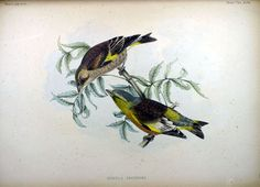 Oriental Goldfinch, from Fauna Japonica, Illustrations of the birds observed in Japan by Dutch travelers, Philipp Franz von Siebold, 1842.