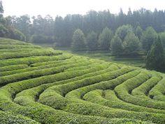 Czy zielona herbata chroni przed nowotworami?