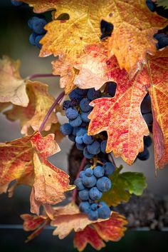 autumn harvest - wonderful. GFrances used to make grape juice from her vineyard in New Hope.