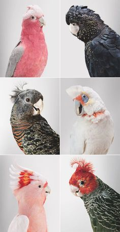 the galah, the cockatoo, the gang-gang and the corolla parrot Pretty Birds, Love Birds, Beautiful Birds, Animals Beautiful, Exotic Birds, Colorful Birds, Exotic Animals, Animals And Pets, Cute Animals