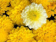 Fondos de Pantalla Dahlia Flower Mix, papeis fondos de escritorio Flores Naturaleza