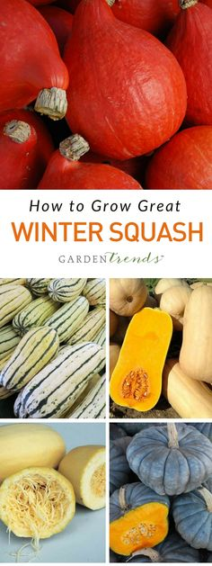 Winter squash seed varieties come in a wide array of colors, shapes, sizes and flavors. Choose traditional butternut squash, acorn squash, and buttercup varieties, as well as specialty types of winter squash like Hubbards, Vegetable Spaghetti, Delicata and fall novelty varieties.