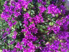 Flores moradas. Edo. Lara Venezuela