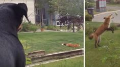 Dog Anxiously Watches Fox After He Steals Her Toy And Plays With It In Front Of Her (VIDEO) #wild #animals #pets