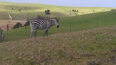 A friendly Zebra along the way - well maybe not so friendly as he was behind an electric fence.    http://www.matakanacountry.co.nz/home/home/ #Matakana #New Zealand #travel #art #sculptures