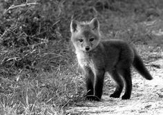 I never knew baby foxes were so cute!