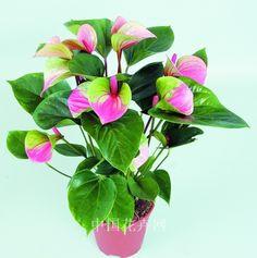 200 pcs raros sementes antúrio rosa + verde, andraeanum grãos, sementes de flores Varanda bonsai vasos de flores para o jardim de casa DIY em Bonsia de Home & Garden no AliExpress.com | Alibaba Group