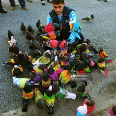 A man collects coloured pigeons after a pigeon-breeding competition in the southern Spanish village of Bollullos de la Mitacion, on January 27, 2015. During competition a single dove is chased by dozens of pigeon cocks resulting winner the male which courts the hen for longer.