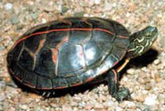 Vermont State Reptile: Painted Turtle