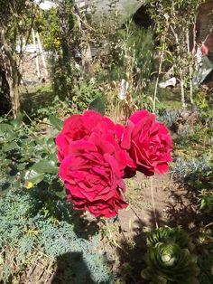 Rosas que nunca dejan de florecer en mi jardín. Silvia Cauca.