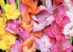 Il fiore di oggi: il Gladiolo e il suo significato  www.fioreriasarmeola.com