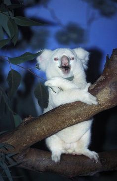 Koala | A-Z List of 125 Rare Albino Animals [Pics] Rare Albino Animals, Unusual Animals, Animals Beautiful, Australian Animals, Funny Animal Pictures, Pet Birds, Genetic Disorder, Animals And Pets, Funny Animals