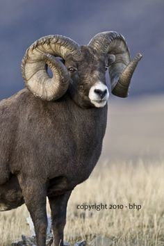 Huge Alberta Ram. This is not a smart animal, but the span of the horns makes predators think there's a lot of brains in there.