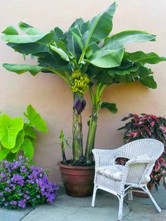 Banana, world's most consumed fruit can be grown in containers. It is a lush green, fast-growing plant that can give any place a tropical look and feel. Many varieties become excellent houseplants that don't need much care and grow up very quickly.