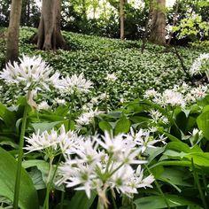 https://flic.kr/p/sjjXee | A carpet of white and green.. #upsticksandgo #flowers #naturephoto #travelgram #michfrost #uk #castlecoomb