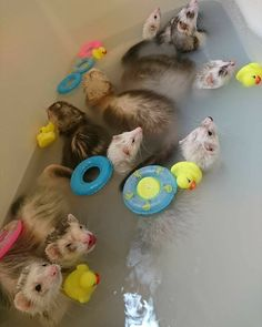 As its very important to know what can I give my ferret to chew on? As this is the matter of ferret's life. Hamsters, Funny Ferrets, Rodents, Cute Little Animals, Cute Funny Animals, Pet Ferret, Ferret Toys, Ferret Cage, Cat Toys