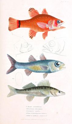 Animal - Fish - Couvier 1834 -  (22)