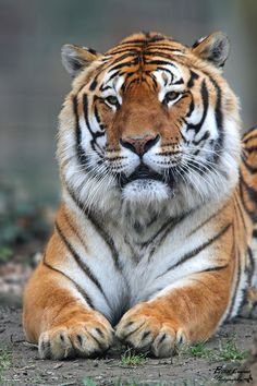 Tiger by Laurent Even on 500px