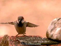 Sparrow landing in UltraSlo motion - YouTube