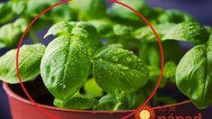 Najjednoduchší spôsob, ako rozmnožiť bazalku. Vypestujte si nekonečné zásoby užitočnej bylinky!