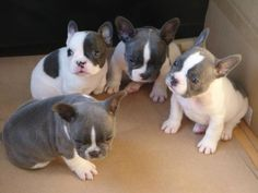 Frenchies!