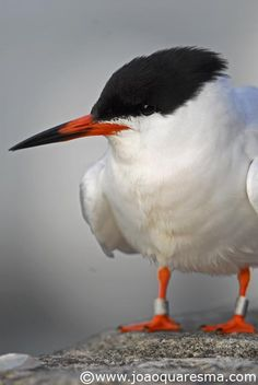 Roseate Tern (Sterna dougallii) is a seabird of the tern family Sternidae. This bird has a number of geographical races, differing mainly in bill colour and minor plumage details.