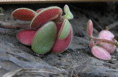 Peperomia blanda var floribunda-1.jpg... click for a bigger image
