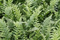 Dryopteris filix-mas 'Barnesii' at Savill Garden