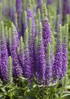Veronica aka Speedwell.  This is one of the best, most forgiving, perennials!  And they bloom from spring to fall!