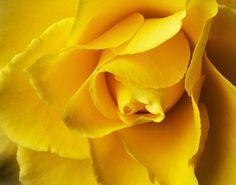DP208 Yellow Rose  www.phawkinsphoto.com  Peter Hawkins ©20015 500px